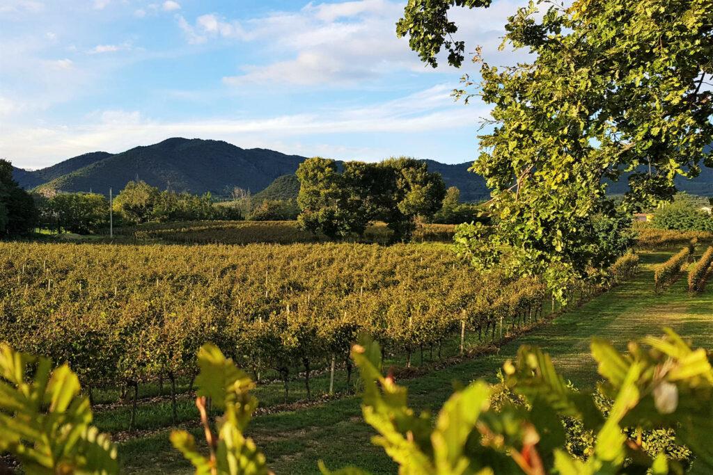 Vigne della cantina Mosnel a Camignone in Franciacorta