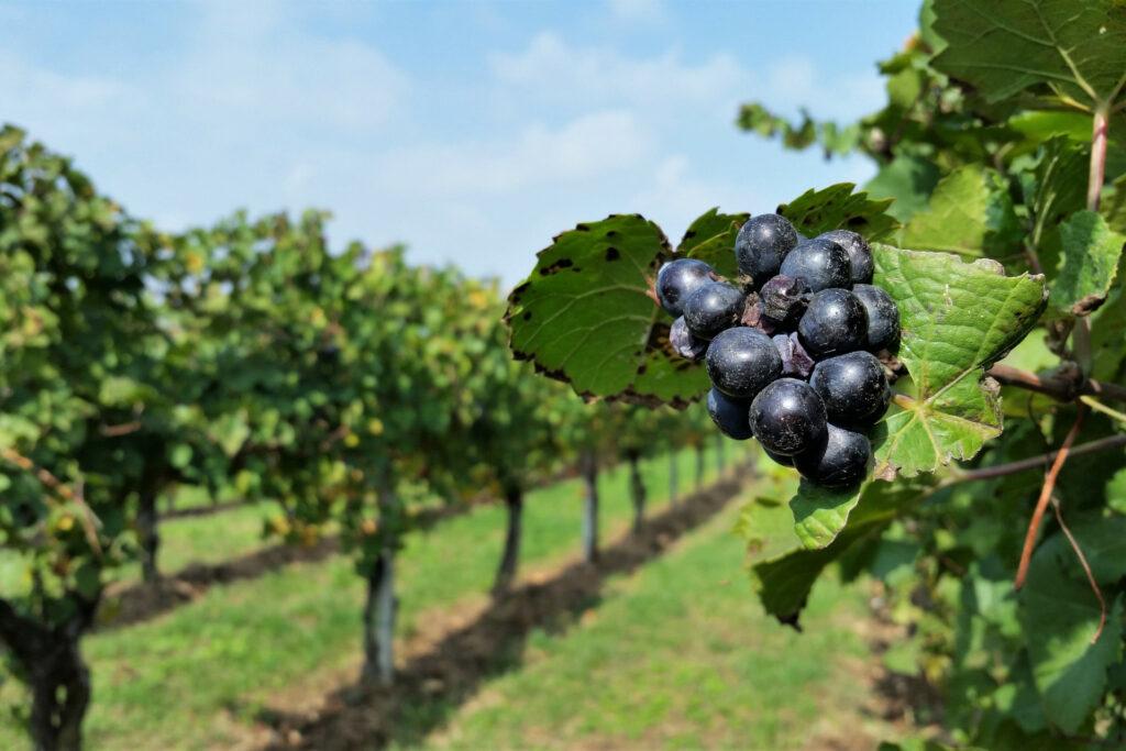 Vigna di Franciacorta con grappolo d'uva in primo piano